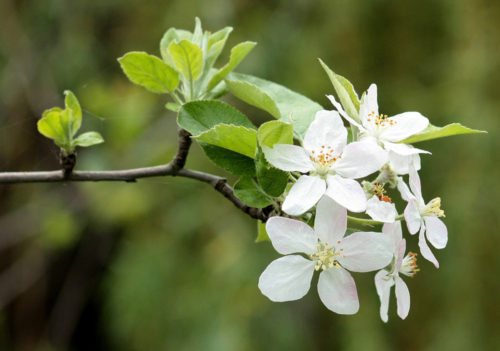 Ron's Tree Care - apple blossom