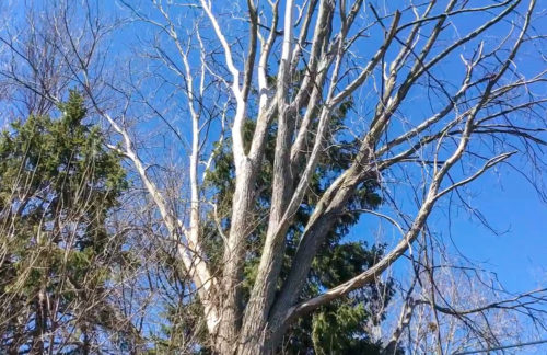 Ron's Tree Care - tree needing removal
