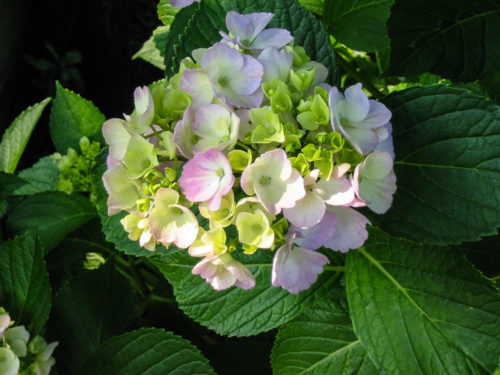 Ron's Tree Care - hydrangea